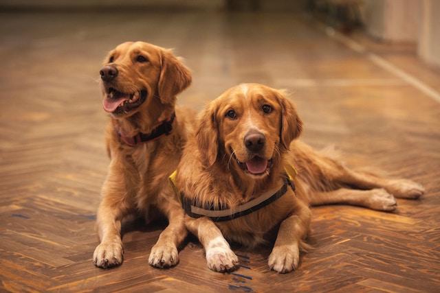 Zwei goldige Golden Retriever