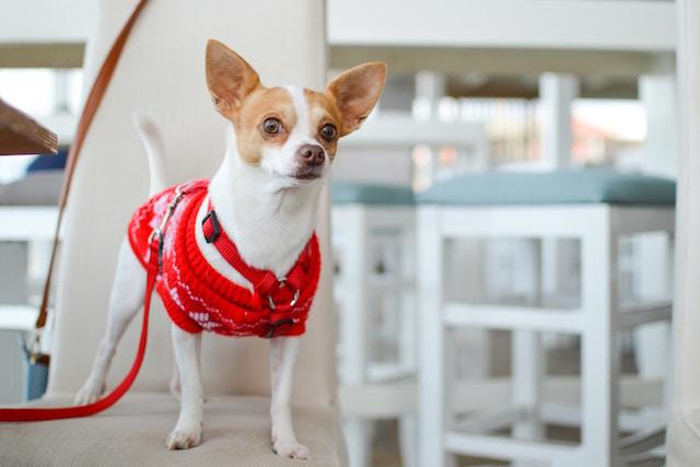 Ein neugieriger Chihuahua