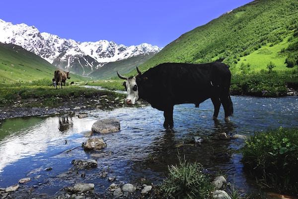 Eine Kuh am Gewässer | Rabattcoupons