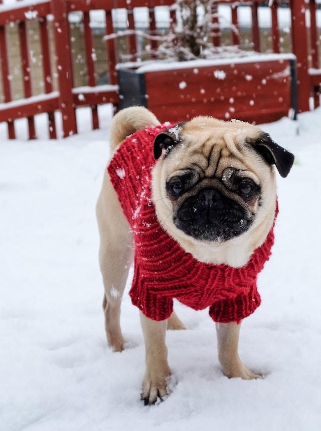 Hund im Roten Pullover im Schnee