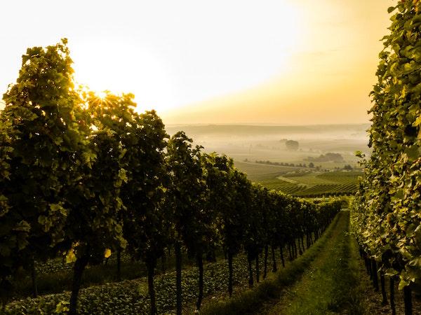 Weinplantage