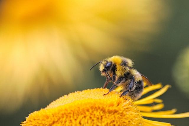 Eine Biene auf einer Gelben Blume | rabatte coupons